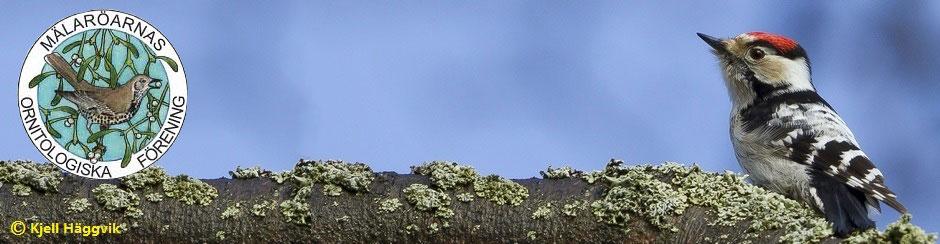 Mälaröarnas Ornitologiska Förening